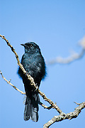 Kenya, Samburu National Reserve, Fork-tailed Drongo, (Dicrurus adsimilis), also called the Common Drongo, African Drongo or Savanna Drongo, on a twig