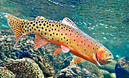 Greenback Cutthroat Trout<br />