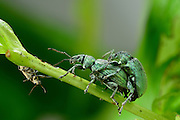 Green leaf weevil (Phyllobius maculicornis), Burgwald, Gearmany | Grünrüssler (Phyllobius maculicornis) - viele Arten der Gattung Phyllobius erscheinen durch die Beschuppung auf ihrem Chitinpanzer grün.