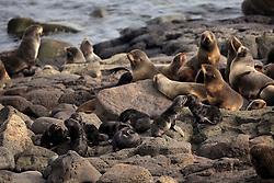 USA ALASKA ST PAUL ISLAND 9JUL12 - Northern Fur Seals (Callrhinus ursinus) breed at the Reef Point rookery on the island of St. Paul in the Bering Sea, Alaska.....Photo by Jiri Rezac / Greenpeace....© Jiri Rezac / Greenpeace