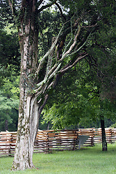 July 2007: Weathered tree near the Brotherton House surrounded by a split rail fence at Chickamauga National Park in Georgia.  Attractions near Chattanooga Tennessee. Point Park, National Park Service - Lookout Mountain, TN.