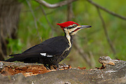 A Pileated woodpecker feeds on insects in a fallen, rotten oak tree. Cades Cove. Townsend,TN