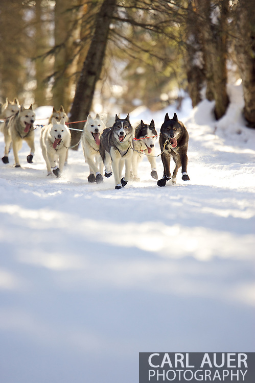 March 7th, 2009:  Anchorage, Alaska - the dog team of Rob Loveman of Seeley Lake, Montana during the start of the 2009 Iditarod.