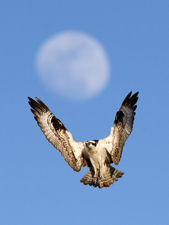 Osprey (pandion haliaetus) holding up the moon