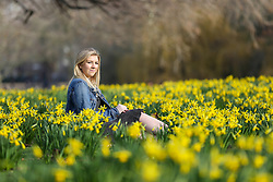 © Licensed to London News Pictures. 07/02/2020. London, UK. JAYNIE CORLISS sitting with the Daffodils as they start to blooms in St James's Park. Photo credit: Dinendra Haria/LNP