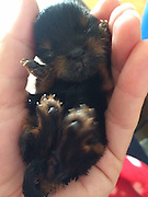 """Pocket-sized pooch Belle could be the smallest in Britain<br /> <br /> IS this pocket-sized pooch the smallest dog in Britain?<br /> Micro-dog Belle was two inches tall at six weeks old and weighed just 158g - the same as a bag of Haribo sweets.<br /> <br /> The miniature Yorkshire terrier was EIGHT times smaller than she should have been.<br /> But her devoted owner Karenza Cruse cared for her like a newborn baby - and sometimes fed her every hour, day and night.<br /> <br /> The cute puppy - named after tiny Tinker Bell the fairy - was the sole survivor of a litter of four.<br /> <br /> Belle, now seven weeks old, was rejected by her mum Darcy and needed to be resuscitated after she was delivered.<br /> <br /> Mum-of-two Karenza diligently nursed her back to health and the puppy has now doubled in size.<br /> <br /> The 34-year-old from Great Yarmouth, Norfolk, said: """"I take her everywhere with me.<br /> <br /> """"But once people see what is in my handbag they can't get enough of her.<br /> """"She is quite a celebrity round here and even in the local pub.<br /> <br /> """"She amazes me. I still just smile at her even if it is 2am or 4am. She reminds me of a little clockwork toy. Everyone just assumes she is a newborn.""""<br /> <br /> Friend Sarah Bramhall, 31, who has helped Karenza rear the puppy, said: """"For all the work she has put in she deserves some recognition and Belle is such a superstar.""""<br /> ©Exclusivepix"""