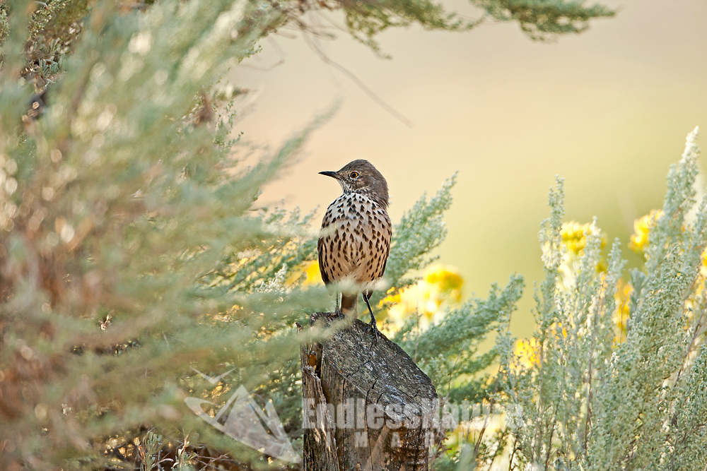 A Sage Thrasher perches on a fence post surrounded by sagebrush resting before going back to the ground to feed on spiders and other insects.