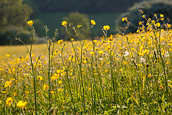 Meadow Buttercups in a field in Gloucestershire. Ranunculus acris