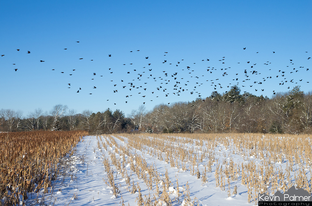 I was able to catch these starlings taking flight early one morning in Sand Ridge State Forest.<br /> <br /> Date Taken: February 2, 2015