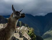 A LLama gazes out at Machu Picchu, Peru.