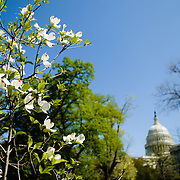 White Flowering Dogwood (Cornus Florida) blooms in the foreground with the US Capitol dome in the distance in the background.