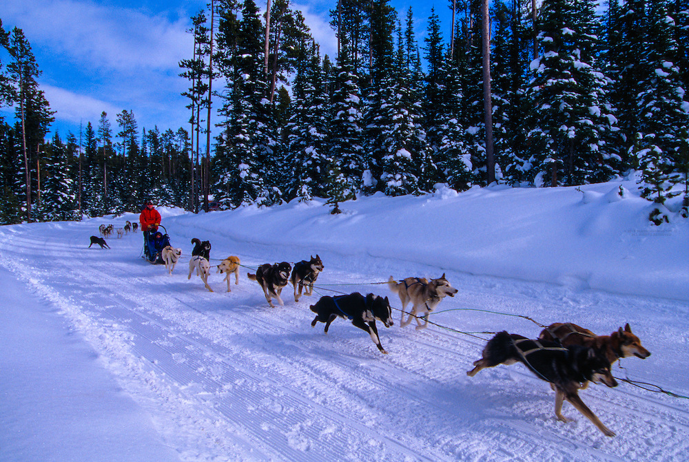 Dog sled team, Big Sky resort, Montana