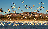 Flock of Snow Geese (Chen caerulescens) lifts off from pond at Bosque del Apache National Wildlife Refuge in New  Mexico. Winter. Morning.