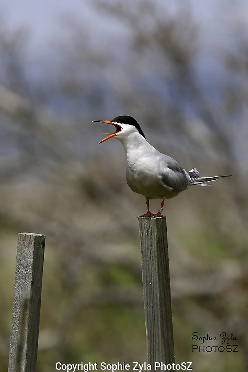 Common Tern Alarm Calling