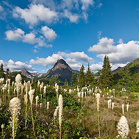 two medicine bear grass, glacier national park, sinopah summer, crown of the continent, montana, usa