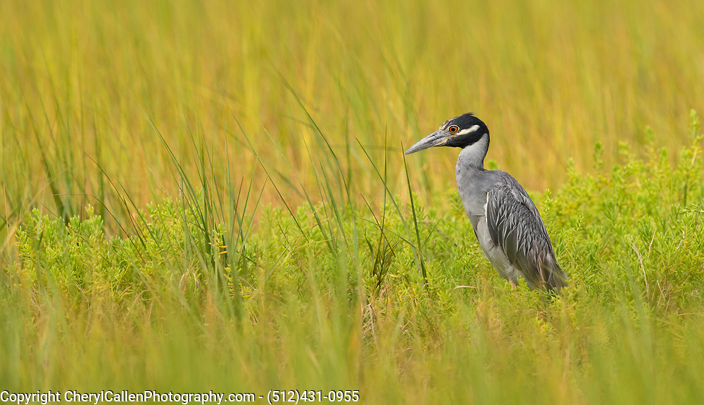 Adult Yellow-crowned Night Heron in the swampy grass in Bolivar, Texas