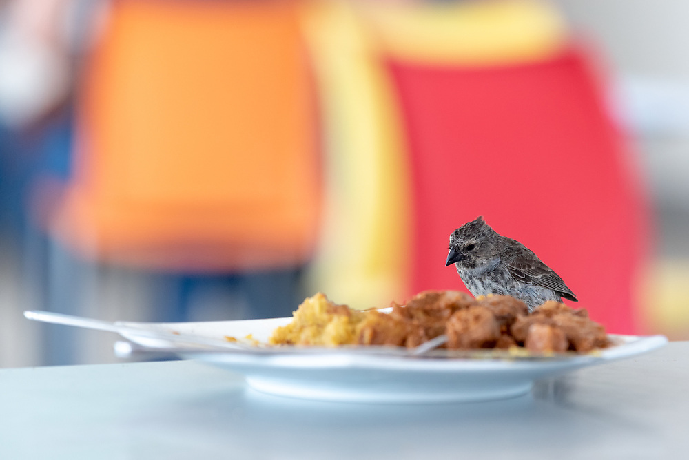 Bird eating food from a plate in the Seymour Airport terminal on Baltra Island, Galapagos Islands, Ecuador.  The terminal is partially open to the outside.