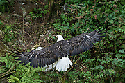 An adult Bald Eagle lands on a hillside at Anan Creek in the Tongass National Forest, Alaska. Anan Creek is one of the most prolific salmon runs in Alaska and dozens of black and brown bears gather yearly to feast on the spawning salmon.