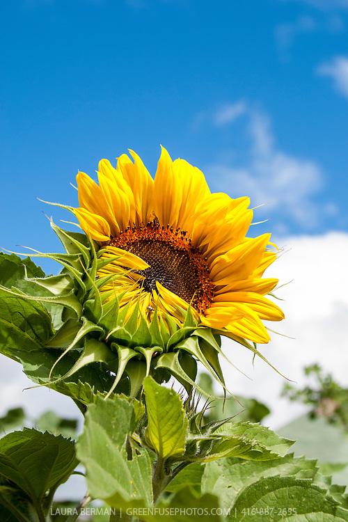 Mammoth Russian sunflower against a blue sky.