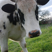 Closeup of a Cow in a pasture in Oregon