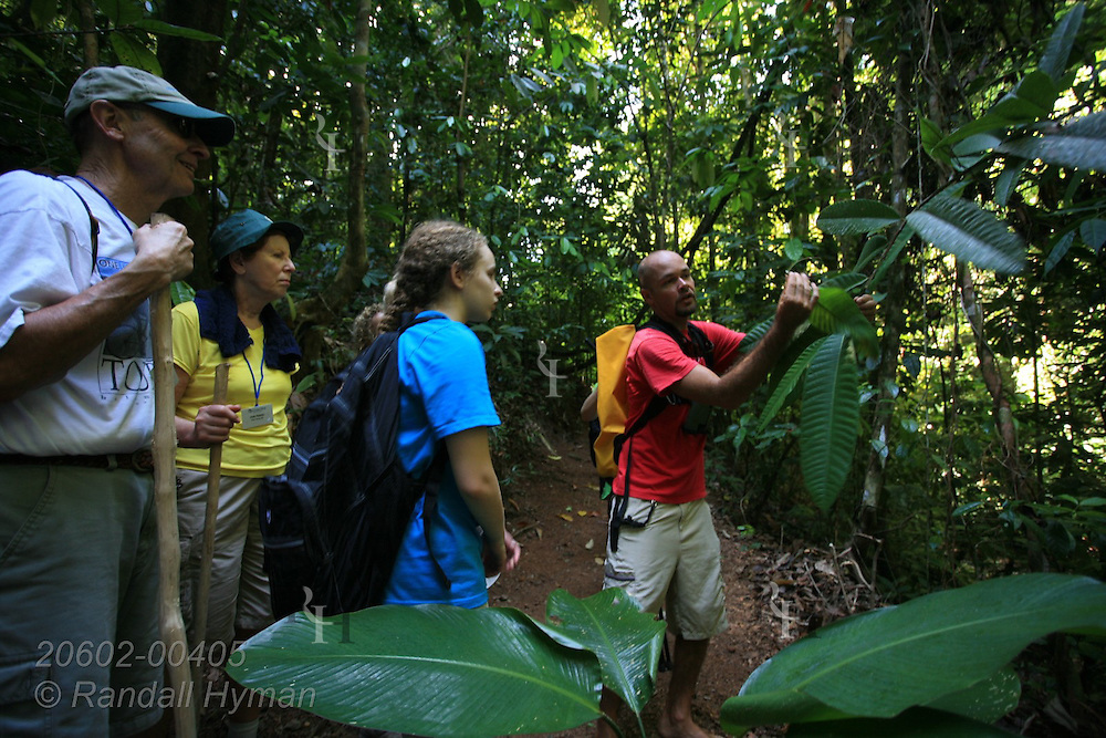 Guide shows ecotourists how pointed leaves help water tree roots in dense tropical rainforest of Corcovado Conservation Area, Osa Peninsula, Costa Rica.