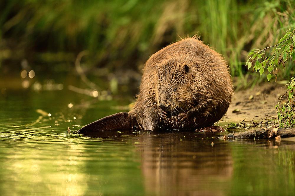 Beaver (Castor fiber) in the Peene valley, Peene river, Anklam, Germany