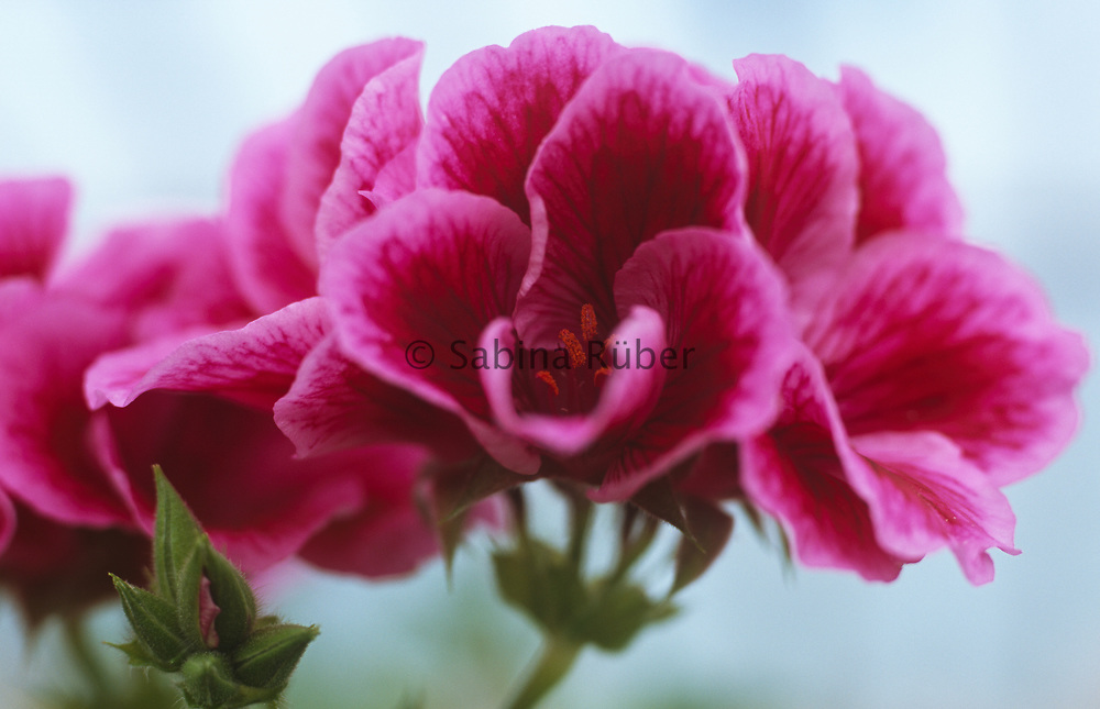 Pelargonium 'Eileen Postle'