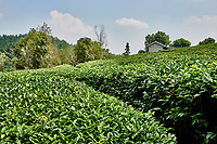 tea plants bush between Guilin and Yangshuo in Guangxi province  China