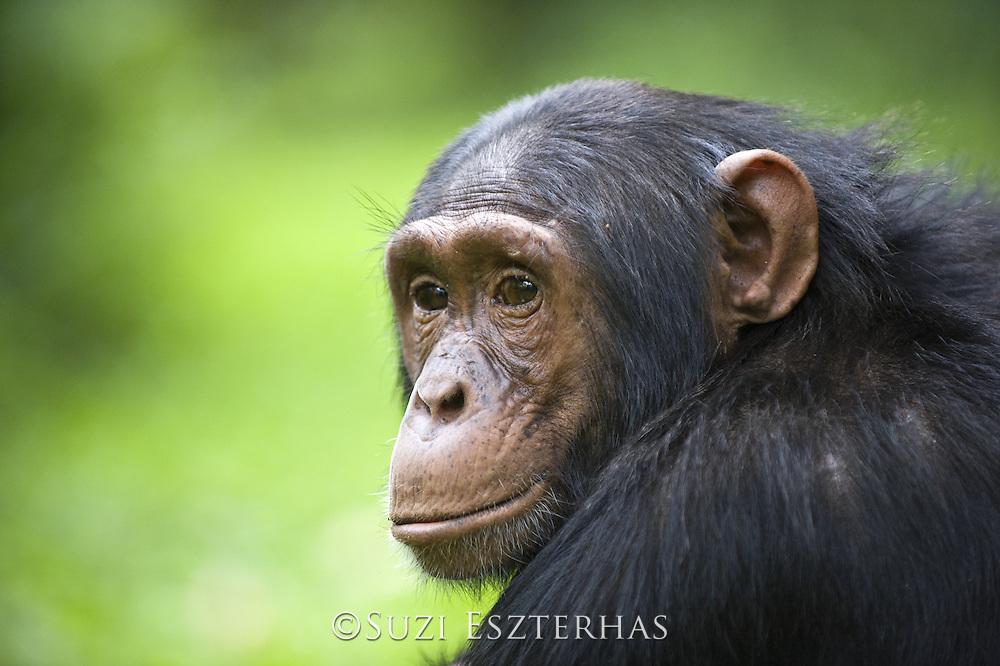 Chimpanzee<br /> Pan troglodytes<br /> Young male<br /> Tropical forest, Western Uganda