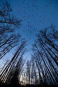 A large flock of American crows (Corvus brachyrhynchos), known as a murder, flies over trees lining the Sammamish River in Bothell, Washington. During the winter months, about 16,000 crows roost each night in the area in restored wetlands.