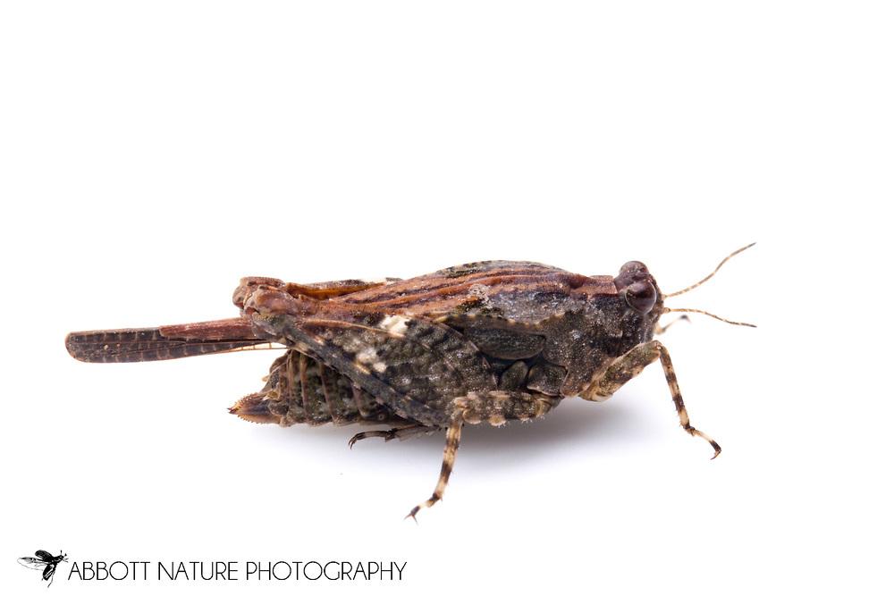 Hooded Grouse Locust (Paratettix cucullatus)<br /> TEXAS: Travis Co.<br /> Brackenridge Field Laboratory; Austin<br /> 19-Sep-2012<br /> J.C. Abbott #2624