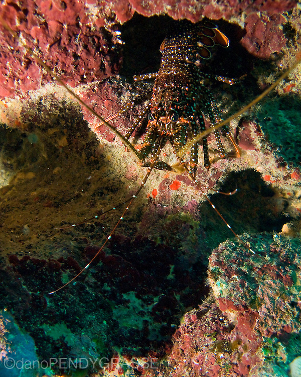 A spotted spiny lobster hides deep in a crack in the reef in Roatan, Honduras.