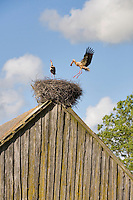 White stork (Ciconia ciconia) pair nesting on old barn. Nemunas regional reserve, Lithuania. Mission: Lithuania, June 2009