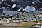 Hawaiian monk seal, Monachus schauinslandi, and green sea turtle, Chelonia mydas, resting on shoreline at Kahalu'u Beach Park, Kahaluu Beach, Kailua Kona, Hawaii Island ( the Big Island ) Hawaiian Islands ( Central Pacific Ocean )
