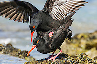 African Black Oystercatcher mating, De Hoop Natue Reserve, Western Cape, SOuth Africa