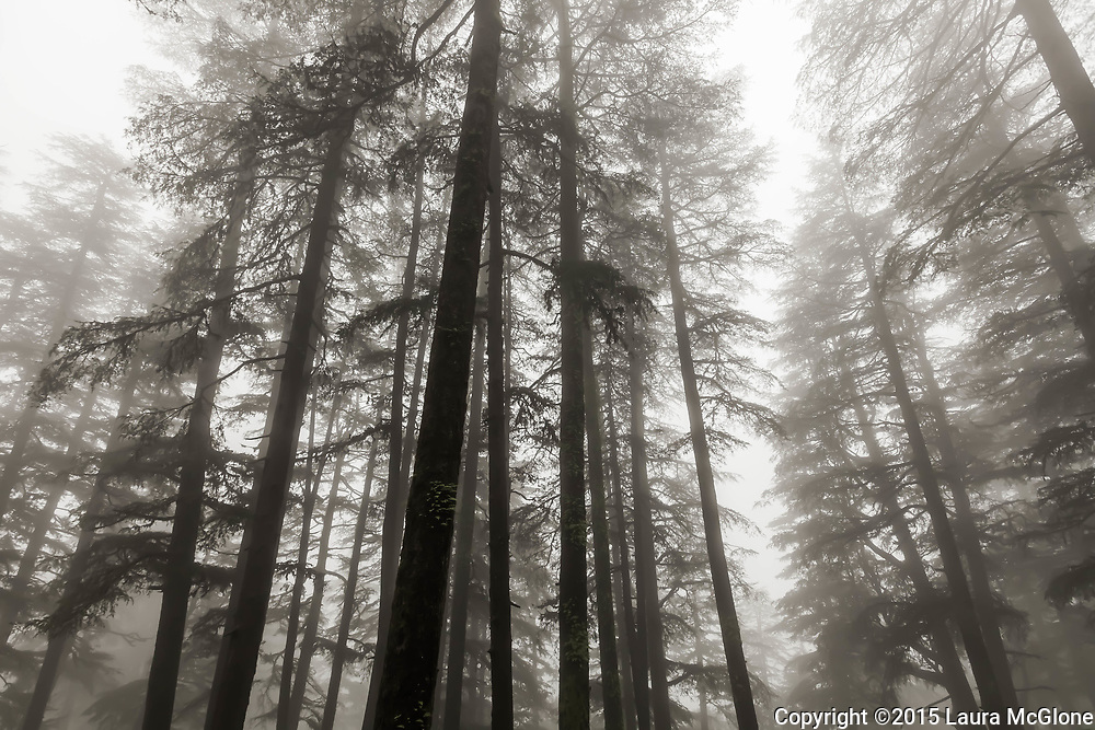 India Shimla Himachal Pradesh Black and White Trees in Fog