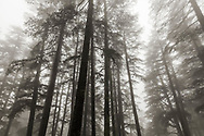 India Shimla Himachal Pradesh Black and White Trees in Fog