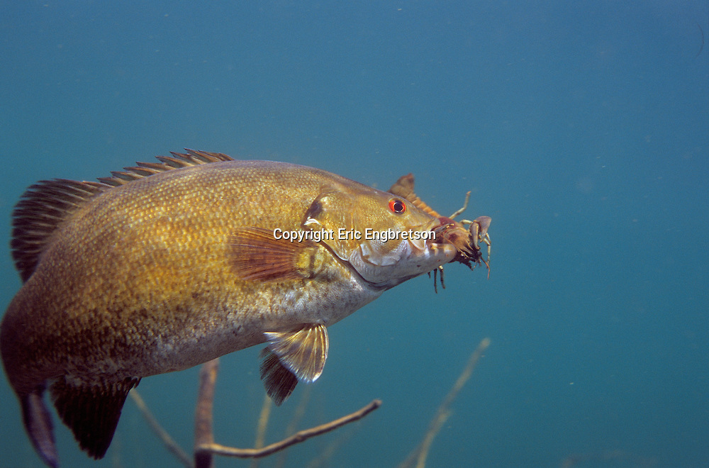 Smallmouth Bass With Crayfish<br /> <br /> ENGBRETSON UNDERWATER PHOTO