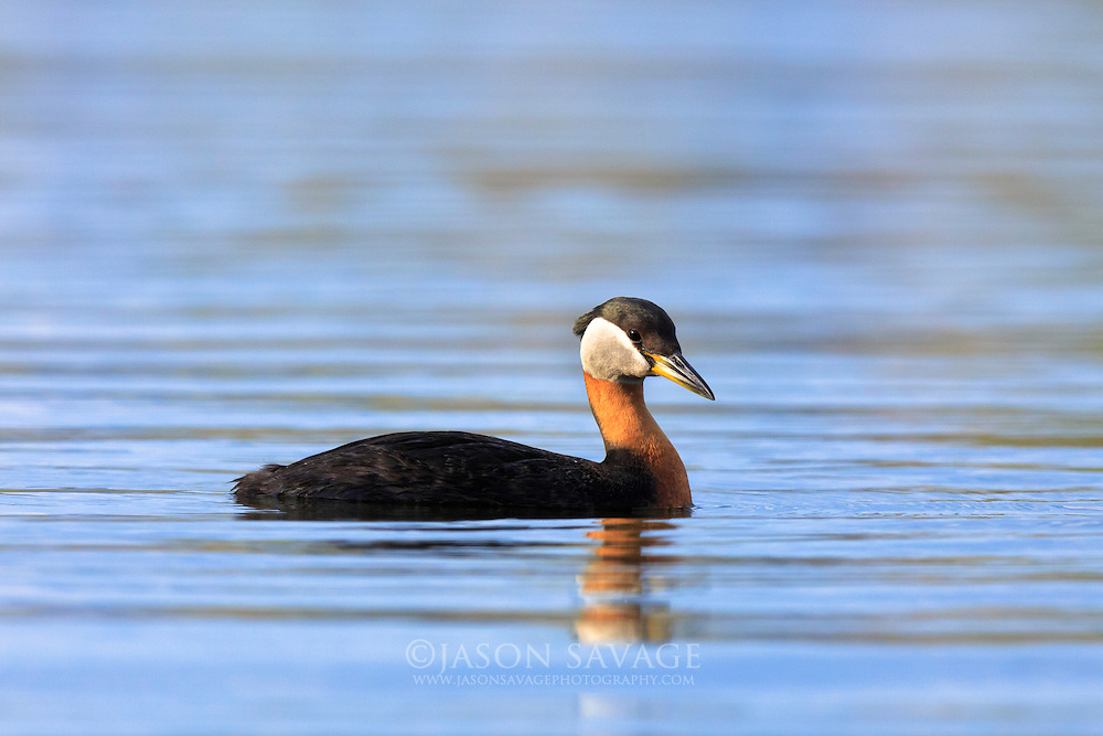 Red-necked Grebe, Montana