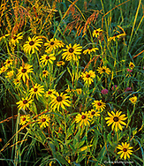 Black eyed susans and lone prarie coneflower near Des Moines Iowa