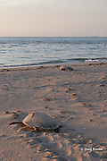 Australian flatback sea turtles, Natator depressus, two females returning to ocean after nesting, Crab Island, off Cape York Peninsula, Torres Strait, Queensland, Australia
