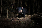 Tasmanian devils will often follow the same trail when hunting for food during the night. A devil triggers a camera trap set on a trail in a dry sclerophyll forest in North-West Tasmania.