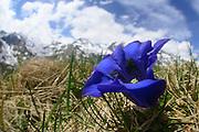 Stengelloser Enzian (Gentiana acaulis) Nationalpark Hohe Tauern, Österreich