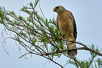 Red-Shouldered Hawk (Buteo lineatus), Arthur J Marshall National Wildlife Reserve