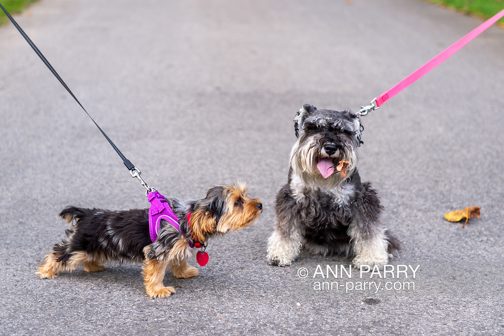 """Old Westbury, New York, U.S. September 1, 2019. L-R, Rosie the Yorkshire Terrier appears to be looking at the dried leaf on Heidi the Mini Schnauzer during """"Fidos after Five"""" when leashed dogs are permitted in designated garden areas, from 5:00PM - 8:00 PM at historic Old Westbury Gardens in Long Island."""