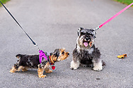 "Old Westbury, New York, U.S. September 1, 2019. L-R, Rosie the Yorkshire Terrier appears to be looking at the dried leaf on Heidi the Mini Schnauzer during ""Fidos after Five"" when leashed dogs are permitted in designated garden areas, from 5:00PM - 8:00 PM at historic Old Westbury Gardens in Long Island."