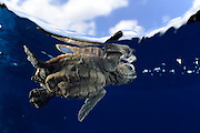 As soon as it entered the water the young Hawksbill sea turtle (Eretmochelys imbricata) struggles against the swell to swim away from the coast. The so-called swimming frenzy lasts for approximately 48 hours to keep the hatchlings from being washed ashore. The turtles do not feed within the first days as they live on the reserves they acquired from the yolk in their eggs. The swimming hatchlings often fall prey to e.g. fregate birds or larger fish. Atlantic, Bonaire, Leeward Antilles, Caribbean region, Netherlands Antilles | Die junge Karettschildkröte (Eretmochelys imbricata)  hat es trotz der lauernden Vögel und Krabben bis zum Spülsaum geschafft. Ihre Kraftreserven aus dem Dotter werden ihr nun helfen, einen ganzen Tag lang fast ununterbrochen zu schwimmen. Als Orientierung dient dabei die Wellenrichtung, gegen die sich die kräftigen Winzlinge stemmen, um die Küste hinter sich zu lassen. Doch auch im Wasser lauern Gefahren: Raubfische von unten und Fregattvögel von oben.  hatchling