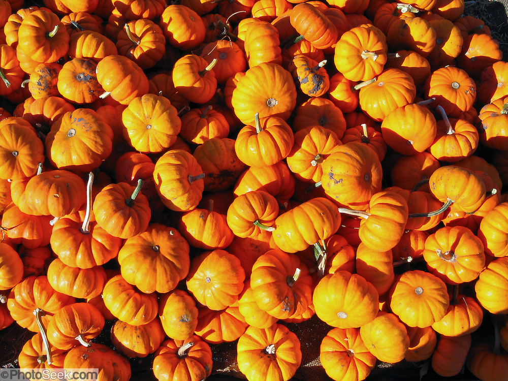 A fall pumpkin harvest is displayed for sale at a farmer's market, Minnesota, USA.