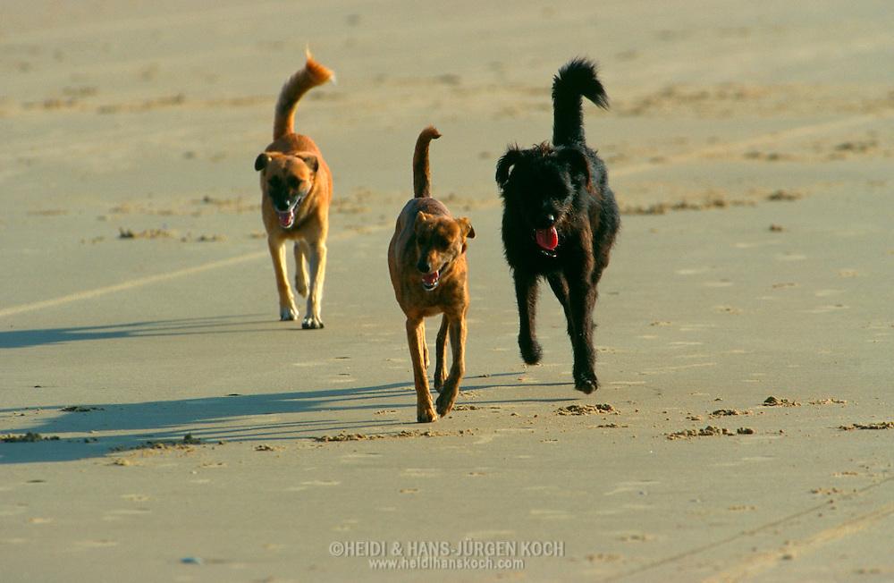 PRT, Portugal: Streunender Hund, Haushund (Canis lupus familiaris), kleine Guppe von drei Hunden laufen zusammen am Strand entlang, Monte Gordo, Algarve | PRT, Portugal: Stray dog, domestic dog (Canis lupus familiaris), small pack of three dogs running together along the beach, Monte Gordo, Algarve |