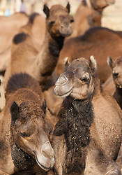 "© Licensed to London News Pictures. 21/11/2012. Pushkar, India. Several camels at the Pushkar Camel Fair in Rajasthan, India. The Pushkar Fair, or Pushkar ka Mela, is the annual five-day camel and livestock fair, held in the town of Pushkar in the state of Rajasthan, India. It is one of the world's largest camel fairs, and apart from buying and selling of livestock it has become an important tourist attraction and its highlights have become competitions such as the ""matka phod"", ""longest moustache"", and ""bridal competition"".  Photo credit : Richard Isaac/LNP"